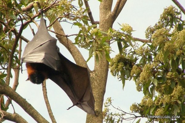 Fruit bat in Sydney