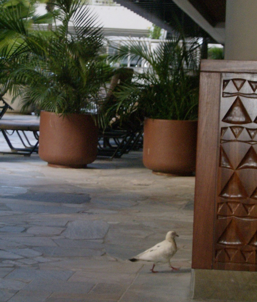 Dove in Outrigger Waikiki Lobby