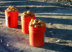 Persimmon buckets