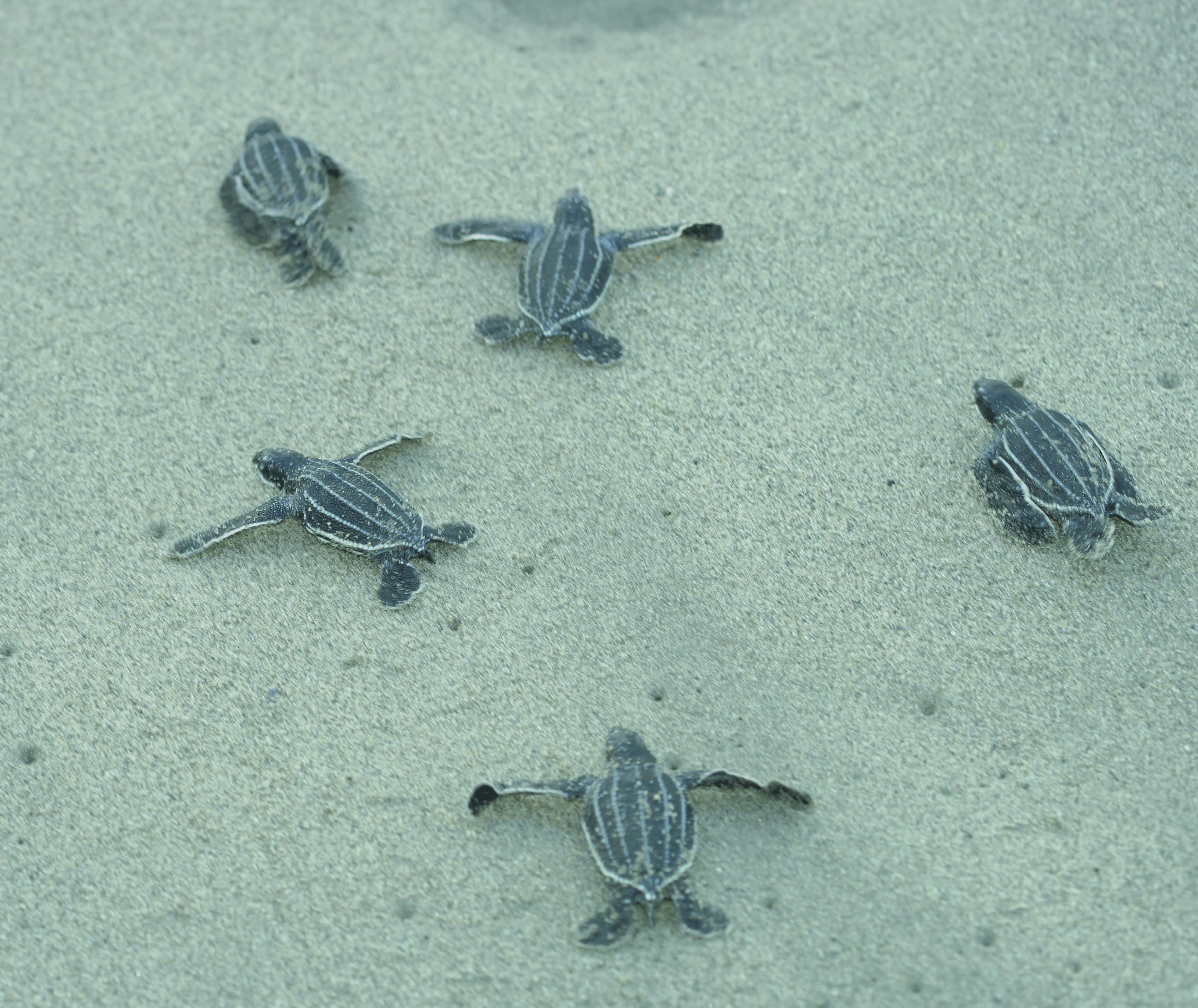 Volunteerism Helps Save the Leatherback Sea Turtle