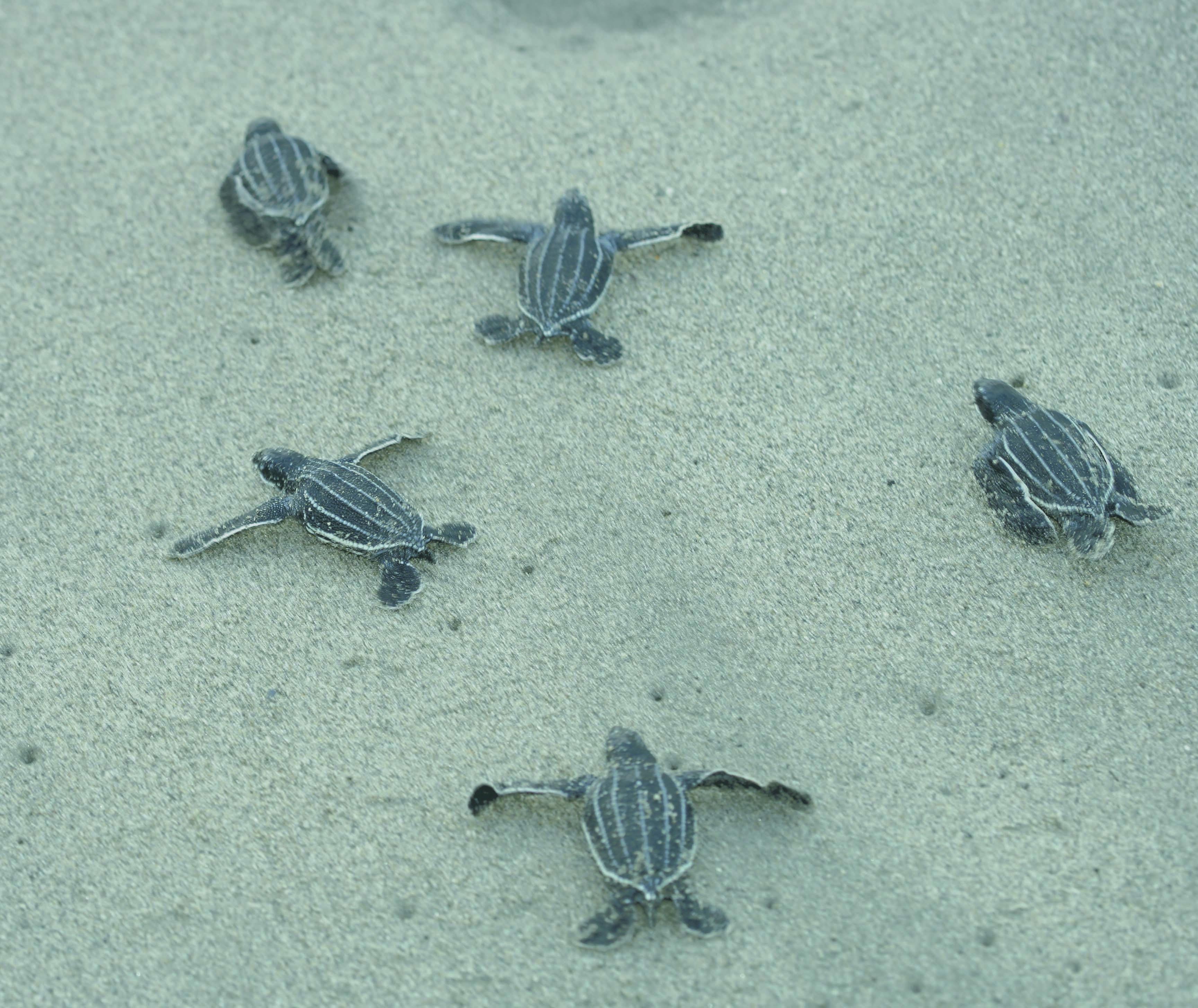 Volunteerism Helps Save the Leatherback Sea Turtle