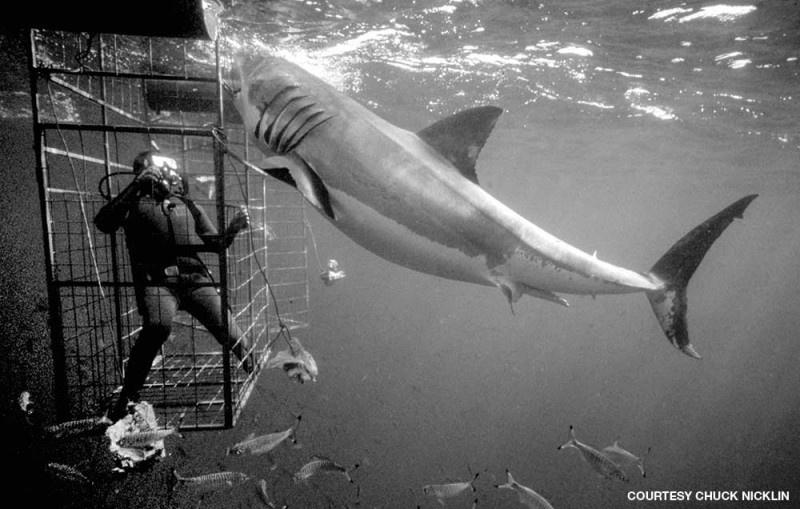 Scuba diving with Chuck Nicklin in a shark cage
