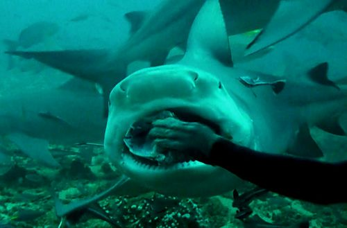 Shark feeding Fiji - picture by Cindy Lipathay. Scuba diving with Chuck Nicklin