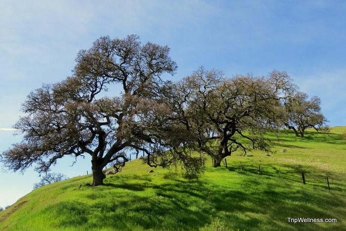 Oaks, Salinas, John Steinbeck country, trip wellness