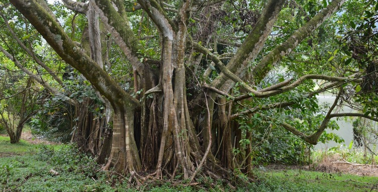 A giant Banyan Tree in the wild