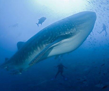 Galapagos Whale Shark