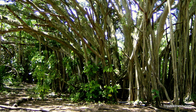 The giants of Honolulu, Hawaii's Banyan Trees, under attack