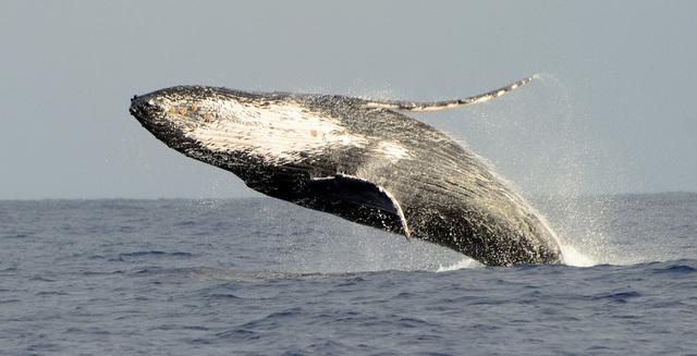 Breeching humpback whale.