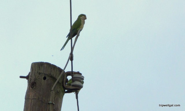 Wild parrot, New Orleans