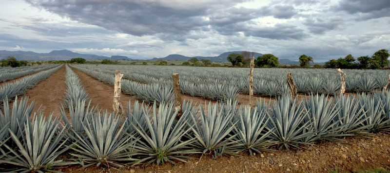 Agave fields on the Tequila Trail