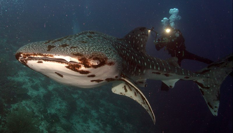 Whale shark in Tubbatha - mottled with parasites.