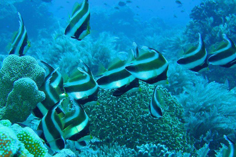 striped fish in the UNESCO World Heritage site, Tubbatha