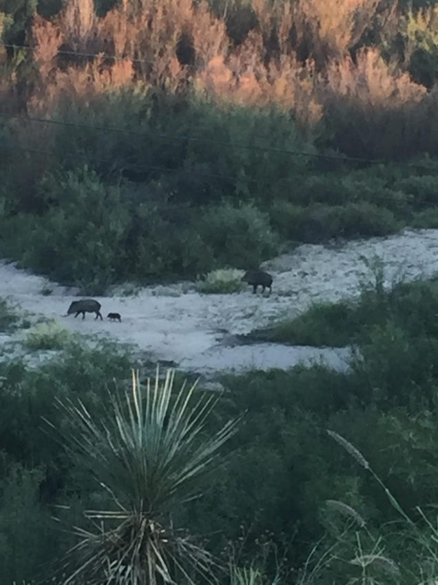 Spying Javelinas can be part of your Texas road trip