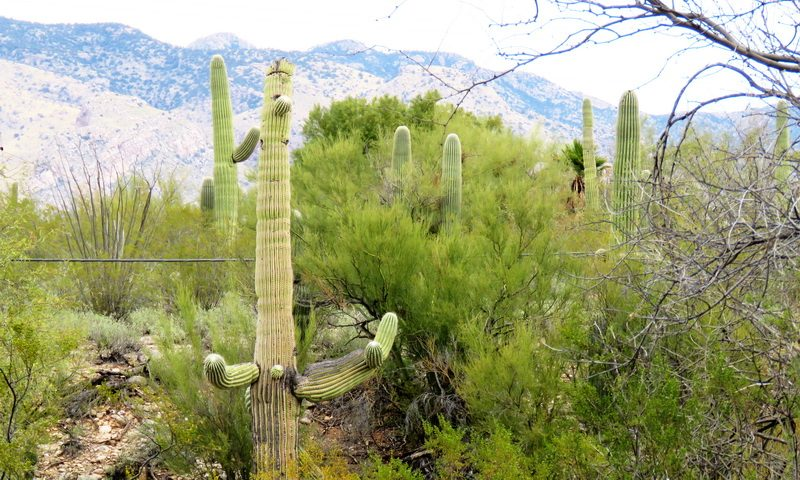 Saguaro cacti dot the landscape near the luxury resort