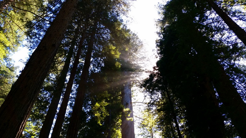 Nothing compares to looking up into ancient treetops in Redwood National Park