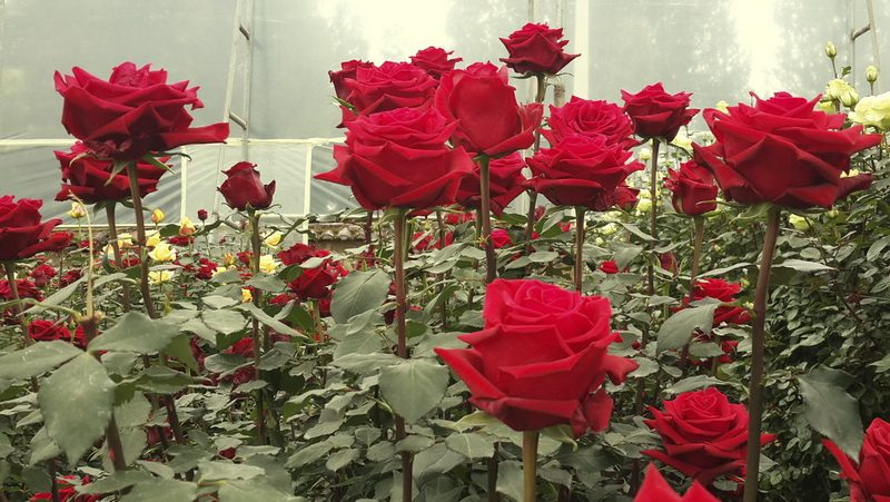 When you visit Ecuador take time to enjoy the roses