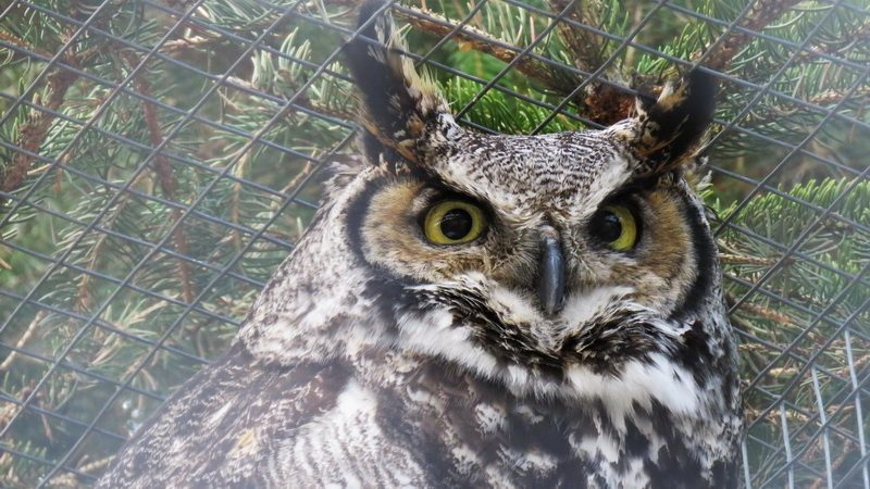 Rescued owl at Ferme 5 Etoiles