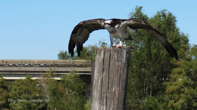 Osprey and catch in the Basin