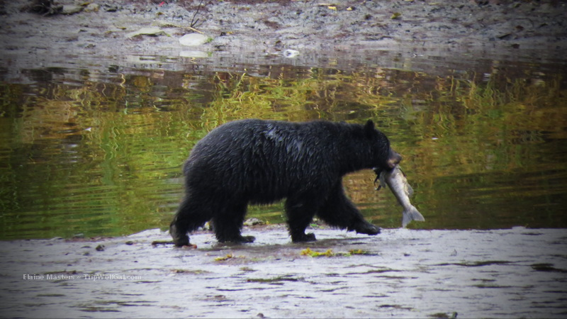 Black bears come out of the forest to hunt at Herring Creek during Salmon Season in Ketchikan.