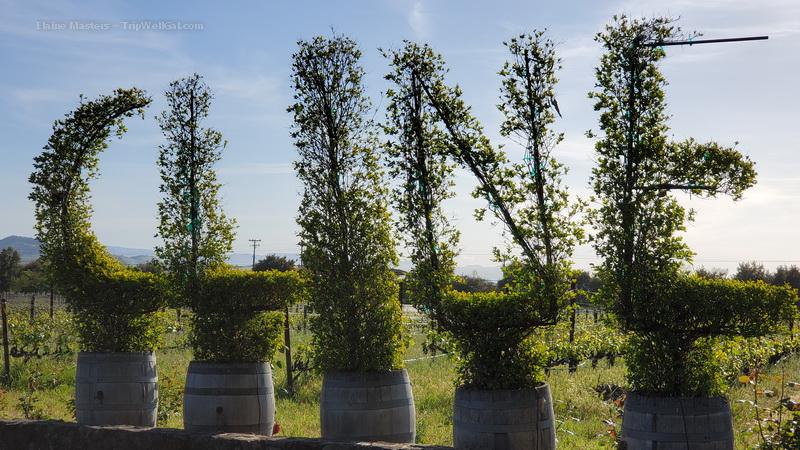 Cline Cellars signature bush in Sonoma