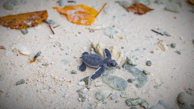 Turtle Restoration at Soneva Jani in the Maldives