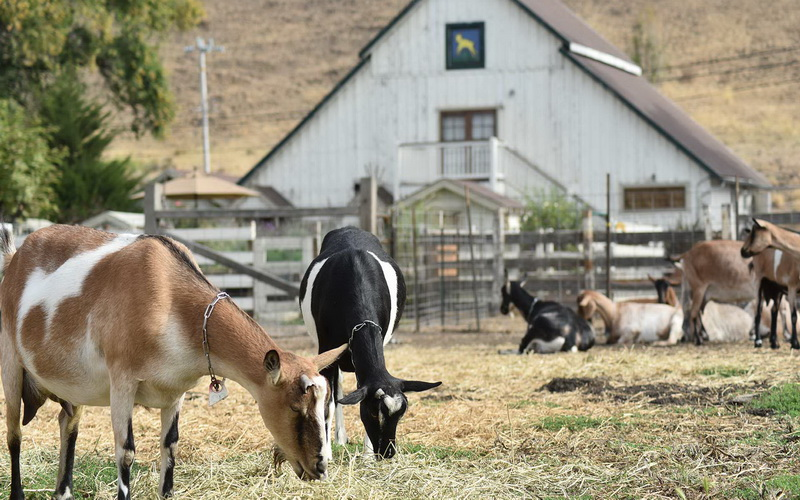 Goats grazing at Harley Farms Goat Dairy on a Northern California Road Trip near Pescadero