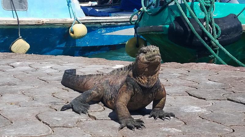 Adult iguana at the port on Santa Cruz island Galapagos